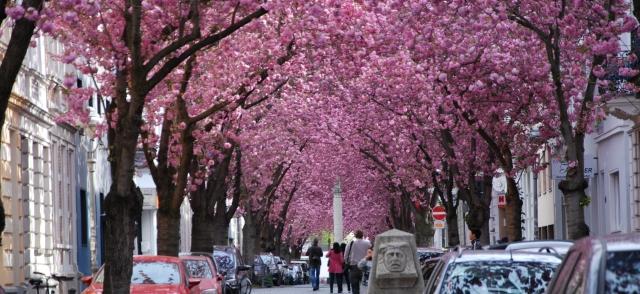 Kirschblüten _niedrig